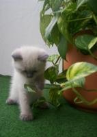 Foto 3 BKH blue-point Kitten mit Papiere