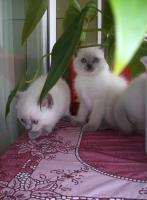Foto 4 BKH blue-point Kitten mit Papiere
