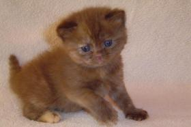 BKH schokie Kitten