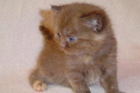 Foto 2 BKH schokie Kitten
