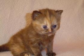 Foto 3 BKH schokie Kitten