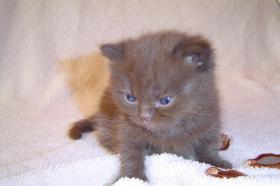 Foto 4 BKH schokie Kitten
