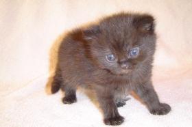 Foto 5 BKH schokie Kitten