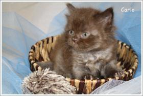 Foto 2 BKH & BLH Kitten in chocolate suchen neuen Wirkungskreis ab November