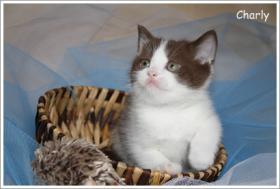 Foto 3 BKH & BLH Kitten in chocolate suchen neuen Wirkungskreis ab November
