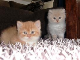 BKH/ Highlander Kitten