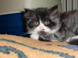 Foto 2 BKH/ Highlander Kitten