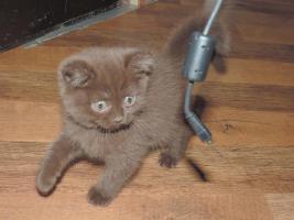 BKH- Kitten in Chocolate u. Lilac  mit  Stammbaum zu verkaufen !