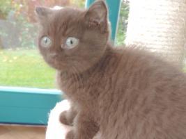 Foto 5 BKH- Kitten in Chocolate u. Lilac  mit  Stammbaum zu verkaufen !