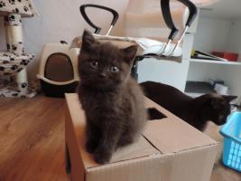 Foto 7 BKH- Kitten in Chocolate u. Lilac  mit  Stammbaum zu verkaufen !