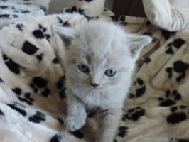 Foto 9 BKH- Kitten in Chocolate u. Lilac  mit  Stammbaum zu verkaufen !