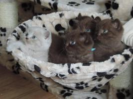 Foto 10 BKH- Kitten in Chocolate u. Lilac  mit  Stammbaum zu verkaufen !