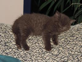 Foto 12 BKH- Kitten in Chocolate u. Lilac  mit  Stammbaum zu verkaufen !