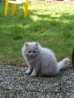 BLH Kitten, Highlander Kitten mit Stammbaum 1a, Elter Europa Champion