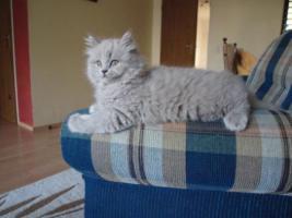 Foto 2 BLH Kitten, Highlander Kitten mit Stammbaum 1a, Elter Europa Champion
