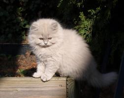 Foto 5 BLH Kitten, Highlander Kitten mit Stammbaum 1a, Elter Europa Champion