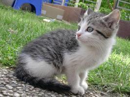 Baby-Kätzchen, Grau-Weiß, fast 2 Monate alt, zu Verschenken! Stubenrein!