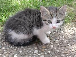 Foto 2 Baby-Kätzchen, Grau-Weiß, fast 2 Monate alt, zu Verschenken! Stubenrein!