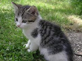 Foto 3 Baby-Kätzchen, Grau-Weiß, fast 2 Monate alt, zu Verschenken! Stubenrein!