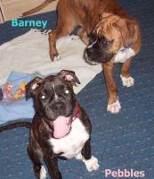 Barney&Pebbles suchen Boxerliebendes zu Hause