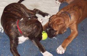 Foto 4 Barney&Pebbles suchen Boxerliebendes zu Hause