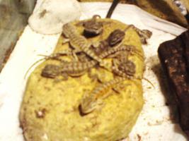 Foto 2 Bartagamenbabys zu verkaufen