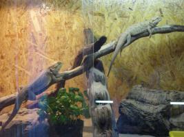 Bartagamenpaar mit Terrarium