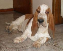 Basset hound Artagnan