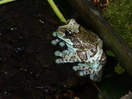 Foto 2 Baumhöhlen - Krötenlaubfrösche