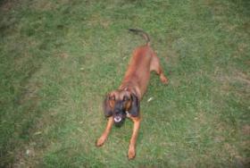 Foto 2 Bayrischer Gebirgsscheiß Hund Wurf