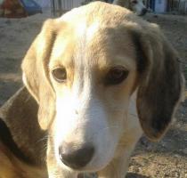 Beagle-Mischlingsdame sucht liebevolles Zuhause