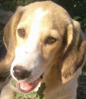 Foto 2 Beagle-Mischlingsdame sucht liebevolles Zuhause