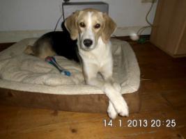 Foto 3 Beagle-Mischlingsdame sucht liebevolles Zuhause