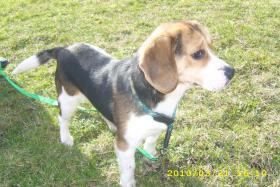 Foto 3 Beagle Rüde