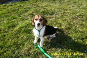 Foto 4 Beagle Rüde