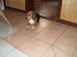 Foto 5 Beagle Welpen