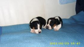 Foto 3 Beagle Welpen zwei süsse Mädchen