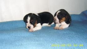 Foto 5 Beagle Welpen zwei süsse Mädchen