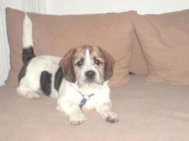 Beagle-shitzu mix 6 Monate