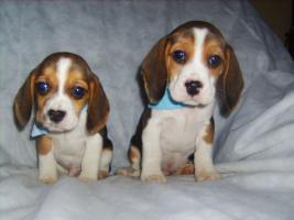 Beagle-u. MINI-Beagle-Babies aus Familienzucht