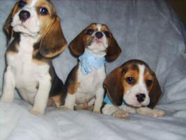 Foto 2 Beagle-u. MINI-Beagle-Babies aus Familienzucht