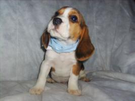 Foto 3 Beagle-u. MINI-Beagle-Babies aus Familienzucht