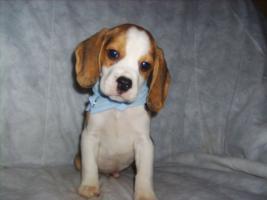 Foto 4 Beagle-u. MINI-Beagle-Babies aus Familienzucht