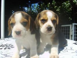 Foto 3 Beagle-u. MINI-Beagle-Babies m. Pap., geimpft, gechipt