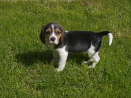 Beaglemädchen Kira sucht neue Familie