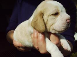 Foto 3 Beagles of the Jolly Kids FCI