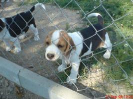 Foto 3 Beaglewelpen www.beagle-sachsen.de