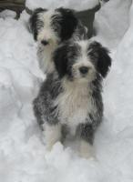 Bearded Collie Jungs