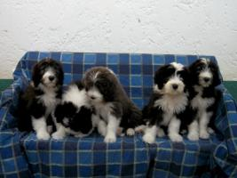Foto 6 Bearded Collie Welpen