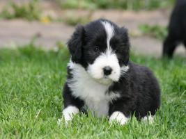 Bearded Collie Welpen